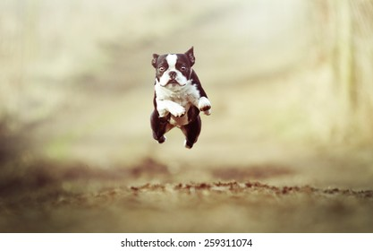 beautiful crazy flying boston terrier dog puppy