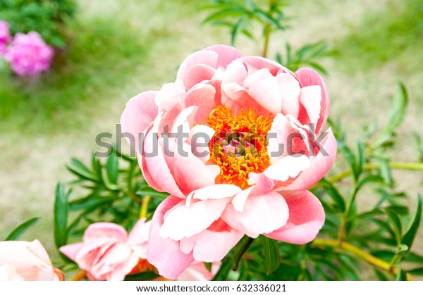 Beautiful creamy color Coral Sunset Paeoni peony blossoming flowers in garden. Horizontal Outdoors summertime vibrant closeup image.