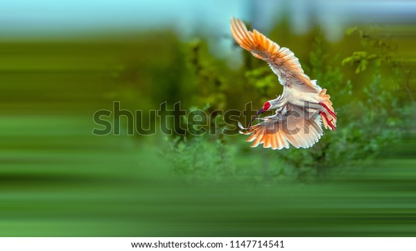 Beautiful Crested Ibis