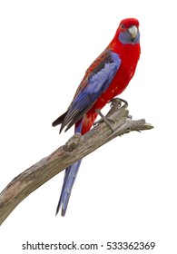 Beautiful Crimson Rosella, Australian Native Parrot isolated on white