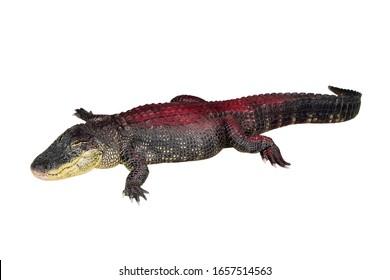 Beautiful crocodile or reptile carnivore animal isolated on white background.