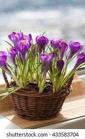 Beautiful crocus flowers in wicker basket on wooden background