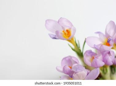 beautiful crocuses blooming in spring