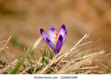 Beautiful crocuses (Crocus heuffelianus) at spring. Colorful blooming purple violet Crocus heuffelianus (Crocus vernus) alpine flowers on spring Carpathian mountain, Tatras national park, Slovakia.