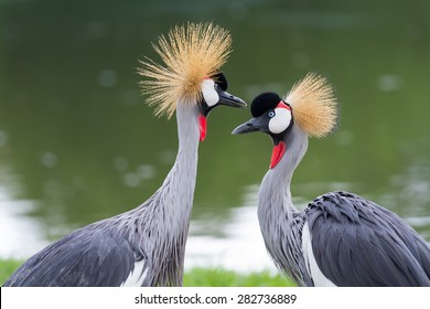 Beautiful crowned crane feeding in the wild.