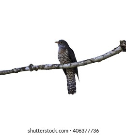 Beautiful of Cuckoo Bird, Indian Cuckoo (Cuculus micropterus) isolate on white background.