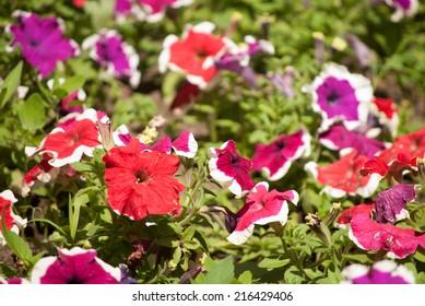 beautiful cultivated flowers in park, Petunia