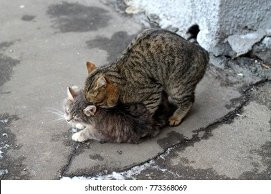 Beautiful curious Scottish Wildcat (Felis Silvestris Grampia) having sex. Three-colored wild cat or tortoise scottish cat make love and kittens. Matig of two wild cats on street background.