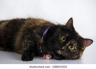 Beautiful curious tortoiseshell colored cat wearing romantic necklace with heart poses in studio against white background.