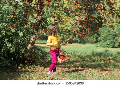Beautiful curly girl in a yellow T-shirt and burgundy pants smiles and holds a full basket of rowan berries. autumn harvest. horizontal photo of a child. back view.