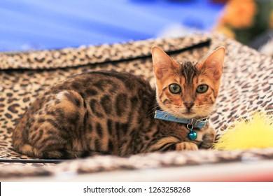 Beautiful cute Bengal cat lying in collar portrait