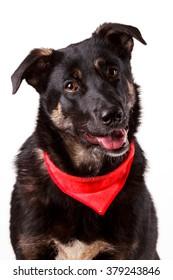beautiful cute black and tan mutt dog in red bandana collar isolated