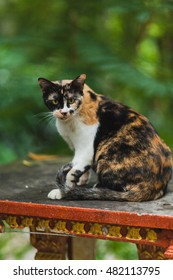 Beautiful cute cat in thai temple, Phuket Island Thailand