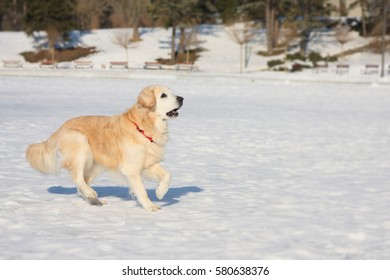 A beautiful, cute and cuddly golden retriever dog walking in a park on a sunny winter day