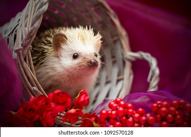 beautiful and cute fun small young african pygmy hedgehog with flower decoration in vintage background