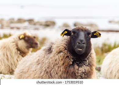 Beautiful, cute and funny sheep outdoors in the country in the wild nature