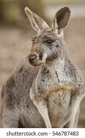 Beautiful and cute kangaroo in the dry habitat, australian fauna, strange animals in australia, another world