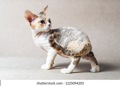 beautiful cute kitten breed Devon Rex sits on the couch
