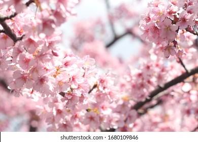 Beautiful and cute pink cherry blossoms (sakura flowers), wallpaper background, soft focus, Tokyo, Japan