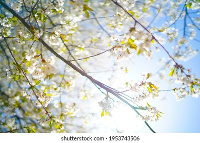 Beautiful and cute pink  and white cherry blossoms (sakura flowers), wallpaper background, soft focus, Slovenia, Europe