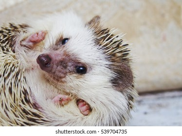 beautiful cute and pretty fun african hedgehog in roll ball