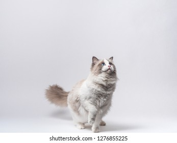 A beautiful cute princess of blue bicolor Ragdoll purebreed cat on a white background.
