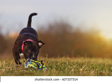 beautiful and cute puppy bitch Breed: Staffordshire Bull Terrier runs along the green meadow, blue sky and sunset