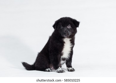 Beautiful Cute puppy Golden Retriever mix Thai Bangkaew on white background.