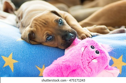 Beautiful and cute Rhodesian Ridgeback puppy with a pink dog toy in its little mouth. The little pet is looking straight into the camera. Image taken as a full frame closeup.