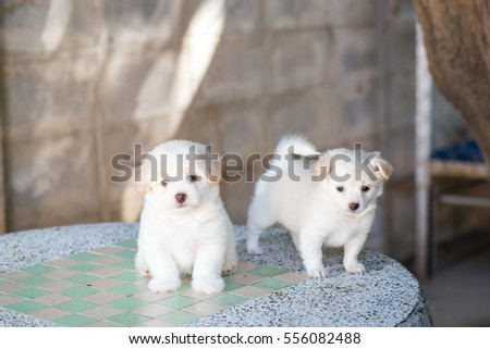 Beautiful Cute Shih Tzu Mix Poodle White Stock Photo Edit Now