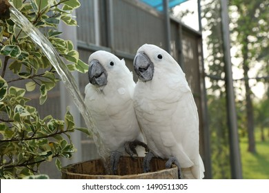 Beautiful cute white parrot drinking water