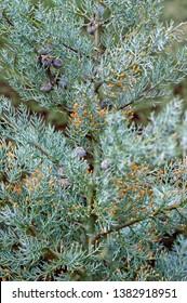 Beautiful Cypress Arizonica Blue tree Texture of leaf macro wallpaper