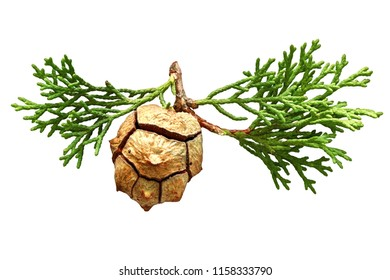 A beautiful cypress conifer cone and sprig isolated on a white background