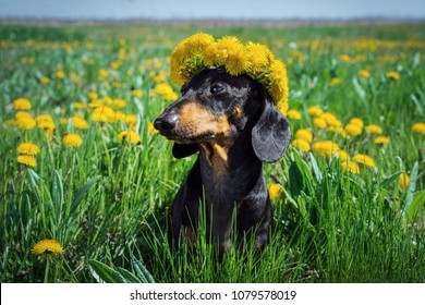 beautiful dachshund dog, black and tan, with a wreaths of flowers dandelions on his head on a meadow in the summer