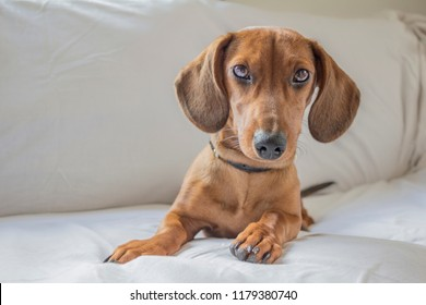 beautiful dachshund puppy staring at you on a sofa in white background, copy space or space for text