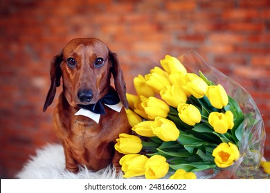 Beautiful Dachshund with yellow tulips. International Women's Day. March 8 Mother's Day