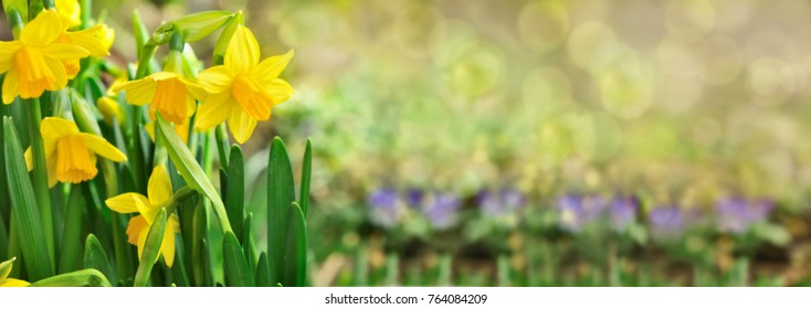 beautiful daffodil in blured lights background in panoramic size