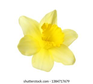 Beautiful daffodil on white background. Fresh spring flower