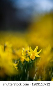 Beautiful daffodil in a yellow wave of these spring flowers.