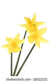 Beautiful Daffodils captured with natural daylight. Daffodils are a welsh emblem and used to commemorate ST David's Day.