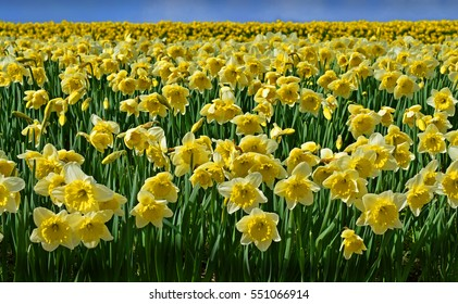 Beautiful daffodils field on a clear spring day.