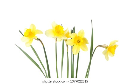 Beautiful daffodils on white background. Fresh spring flowers