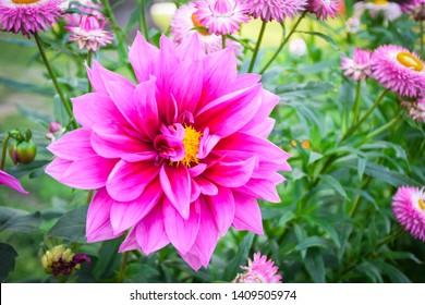 Beautiful Dahlia Flower in close up shot at gayatri ashram in haridwar.