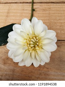 Beautiful Dahlia flower with delicate white petals and yellow centre on wooden background
