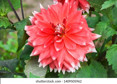 Beautiful Dahlia Flower at gayatri ashram in haridwar.