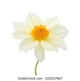 beautiful Dahlia flower isolated on white background