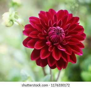 Beautiful dahlia flower, perfect natural symmetry in purple red, soft focus