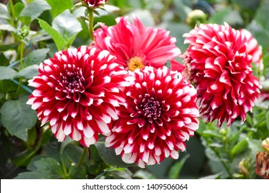 Beautiful Dahlia Flowers in close up shot at gayatri ashram in haridwar.