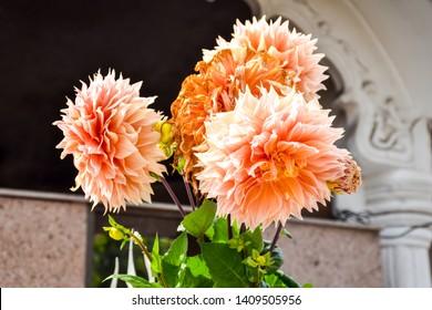 Beautiful Dahlia Flowers at gayatri ashram in haridwar.