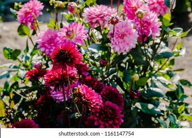 Beautiful dahlias in the autumn garden. Flowers dahlias in the Park or garden in autumn.
